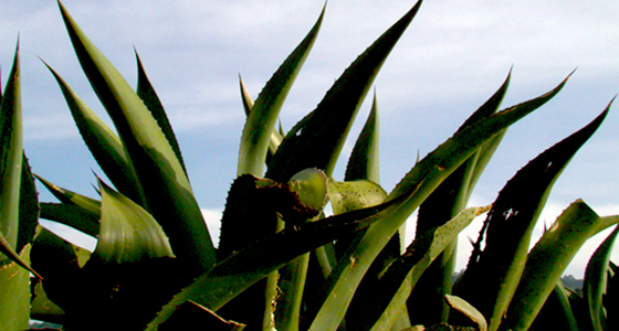 pulque-maguey